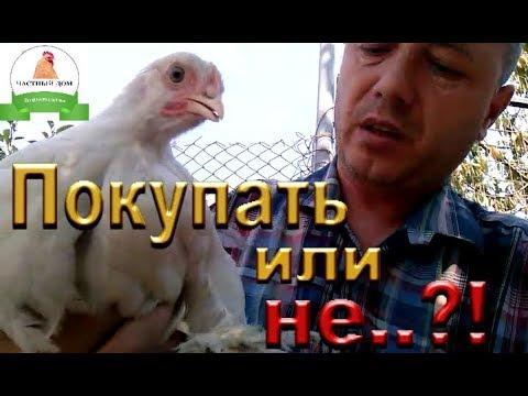 Как выбрать цыплят, курочек. На что нужно обратить внимание при покупке цыплят, молодняка, кур!