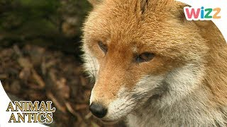 Animal Antics - Fearsome & Friendly Foxes 🦊 | Full Episodes | Wizz | TV Shows for Kids