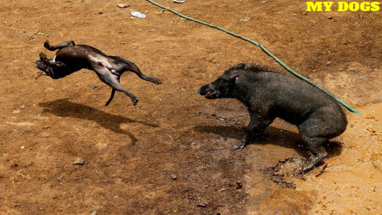 Dog VS Pig ★ 2018