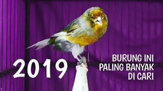 KENARI TERMAHAL DI DUNIA Harga Kenari 2019