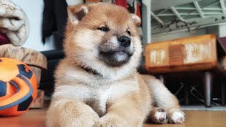 Restless bois doin wresslingo & zoomies - Shiba Inu puppies (with captions)