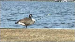 Smart Goose - Goose shot by arrow lands in veterinarian's yard