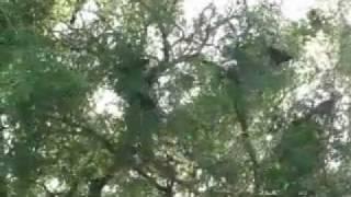 Sounds of the African Bush: Grey Go-Away-Birds.