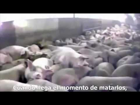 """The Reality of """"Factory Farming"""""""