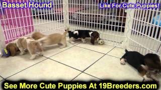 Basset Hound, Puppies For Sale, In, San Antonio, Texas, Tx, Pasadena, Brownsville, Grand Prairie, La