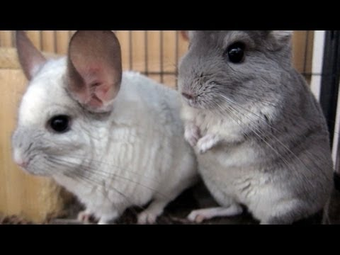 Chinchilla Care Tip #2 - Keep Them Cool