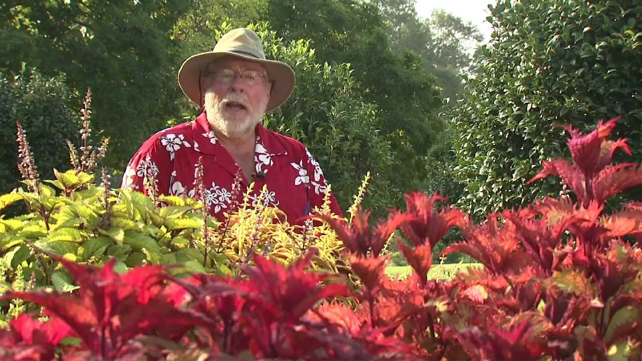 Sun Coleus   Southern Gardening Television