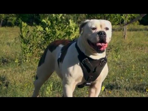 Strong Leather American Bulldog Harness with Wide Padded Chest Plate
