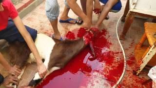 Goat Slaughtering On Eid Ul Adha 2015 In Qatar