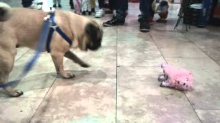Henry The Pug  And A Toy Pink Poodle :-)