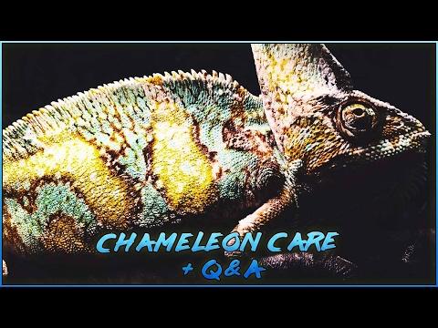 Veiled chameleon care + Q&A