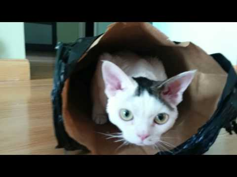 Cornish rex cat playing with bag