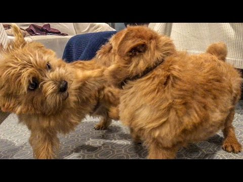 Norfolk Terriers Addicted To Wrestling