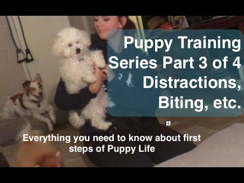Puppy Training Series Part 3 of 4: (though I say pt 2 accidentally) Puppy Biting & Distractions