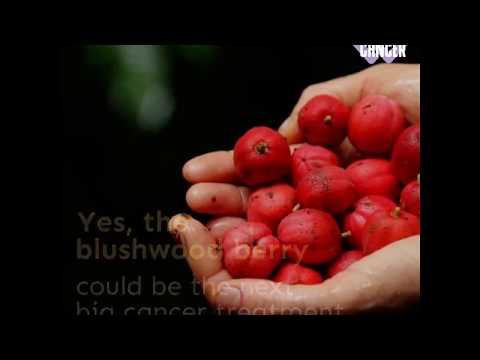 Fruit Extract that Kills Cancer in 48 hours  Blushwood berry