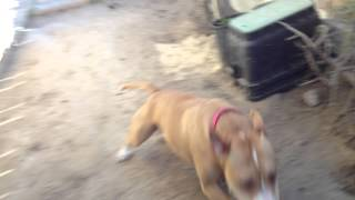 Crazy Pitbull Runs Back And Forth Around Yard