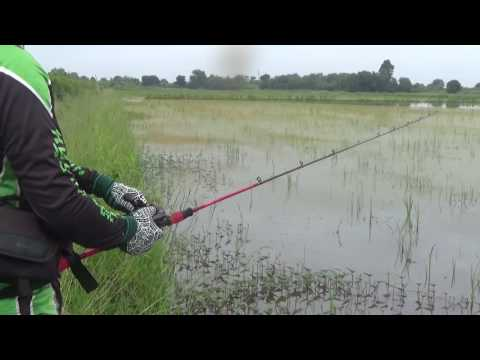ตีเหยื่อปลอม ตกปลาช่อน หมายนาน้ำท่วม กบยางแก้คัน