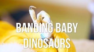 Banding Baby Dinosaurs