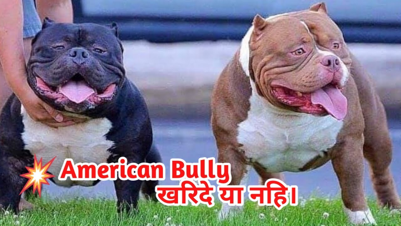 American Bully Dog Buy Or Not Dog Price List In India Wholesale
