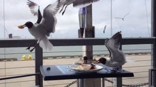 Gulls steal food from the table (Seemöwen)
