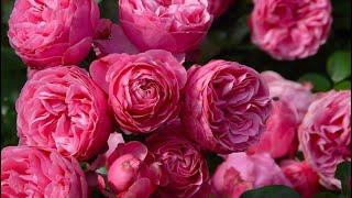 Розы в саду! Обзор по сортам. Blooming roses!