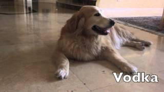 Golden Retriever Dog Losing Weight - 1