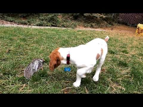 11  week old Brittany Spaniel pointing a grouse wing