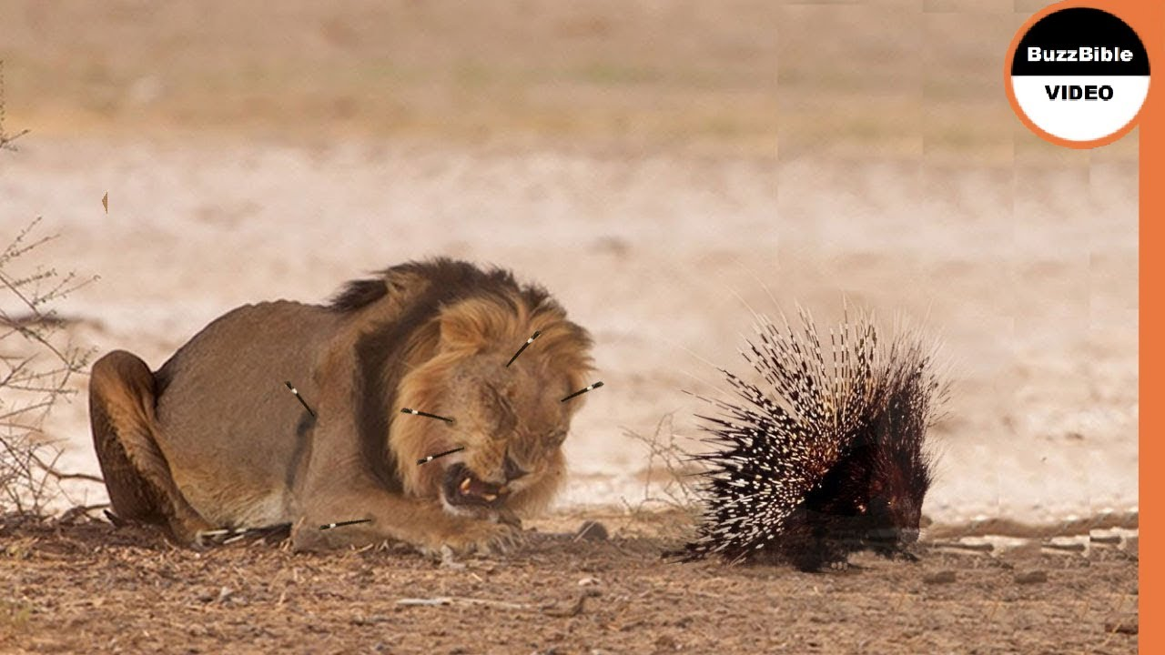 Real Fight: Porcupine Vs Lion - Lions Can't Take Down a Porcupine !