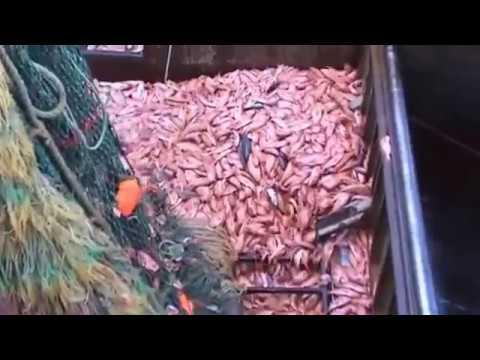 Illegal fishing - Penangkap Ikan ini harus di hukum BERAT !!!