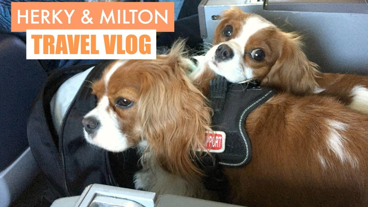 Image of: Milton Herky Milton Travel Vlog Dogs In Plane Cavalier King Charles Emotional Support Pet Youtube Herky Milton Travel Vlog Dogs In Plane Cavalier King Charles