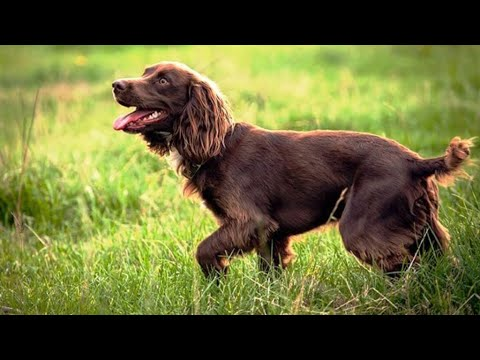 Things About The Boykin Spaniel