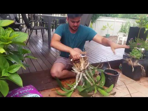 Orchids: Re-potting Native Orchid