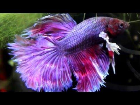 Betta Fish survives 3 surgeries