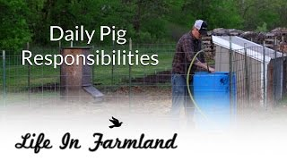 Day to day activities of raising backyard pigs