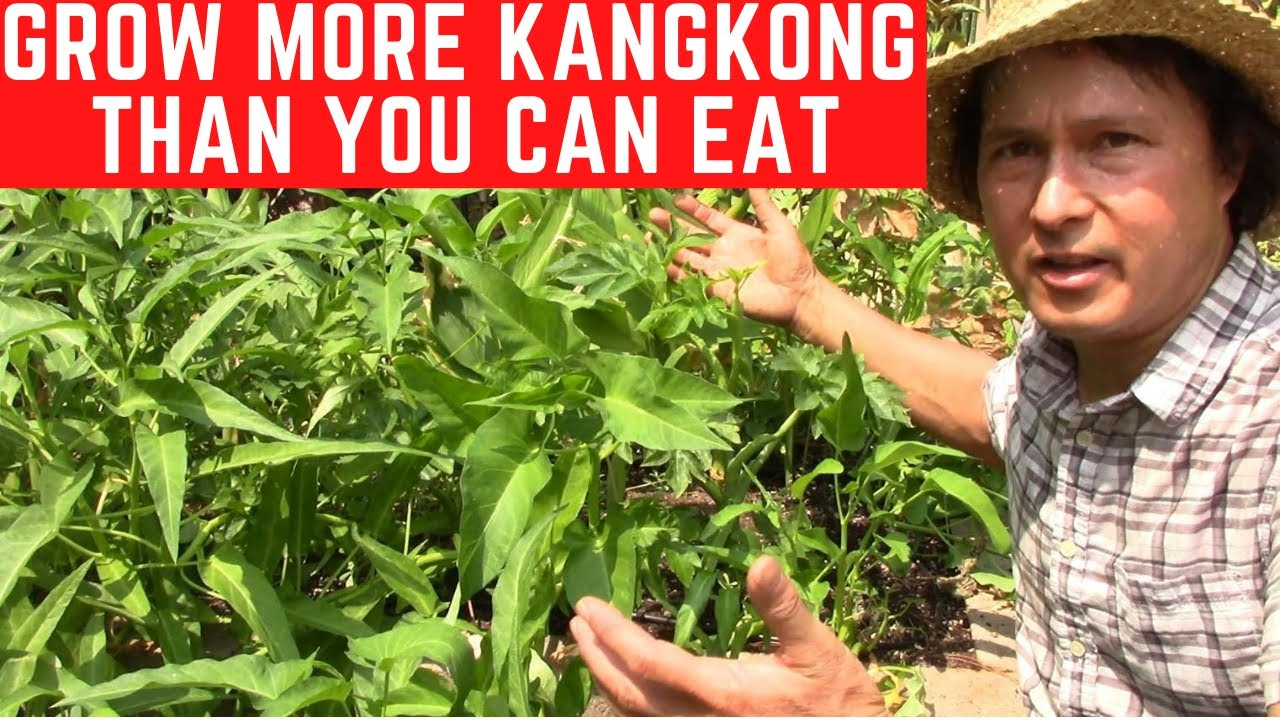 How to Grow More KangKong  than You Can Eat in Soil   Water Spinach