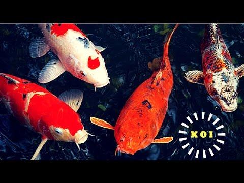 Australian Koi Fish Farm - Bringelly