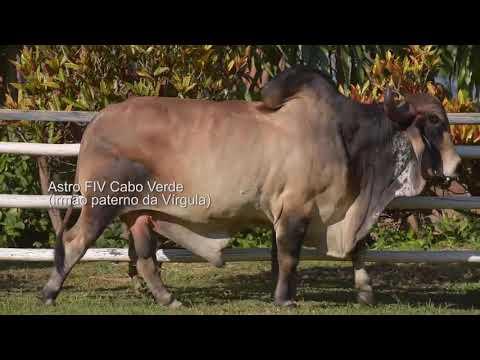 LOTE 33 – GETULIA FIV CABO VERDE JCVL3636