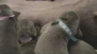 Little Gray Ghosts Weimaraner Puppies Nursing Born 7-12-10