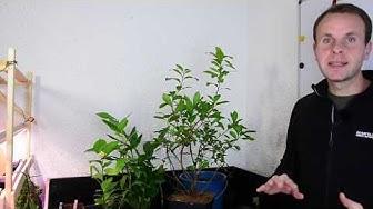 Mediterranes - Westliche Erdbeerbaum (Arbutus unedo) Sehr tolle Pflanze, aber nicht zu viel naschen!