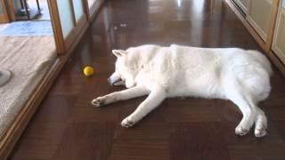 秋田犬ひとりぼっちにされてヘソを曲げる【akita dog】 thumbnail