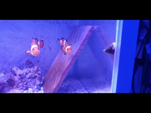 How To Breed Clownfish Part 1