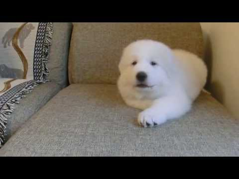 Great Pyrenees Puppy - let's play with me