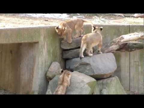 Lion Cubs Playing - At the National Zoo