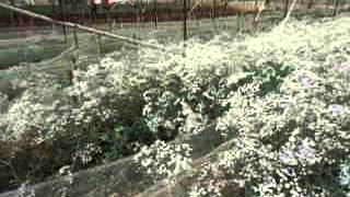 polyhouse system for cultivation of flowers in Dalat vietnam