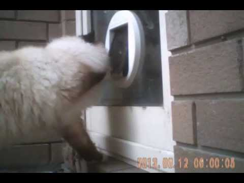 Carlisle The Birman Beats The One Way Cat Door Youtube