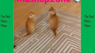 TubeSpaghetti - Funny Cats Compilation 2017 | Best Funny Cat Videos Ever Funny Vines