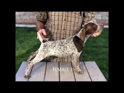 PuppyFinder.com : 12 week old GSP puppies