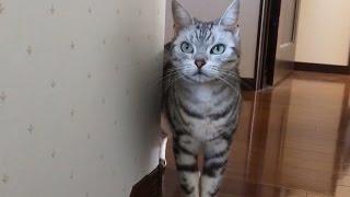 母ちゃん大好きが止まらない猫 ~留守中隠し撮りの結果が…取り乱して号泣してた … -Cat couldn't find me, cried loudly