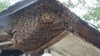 Honey bees in the soffit of a house in River Ridge, La.