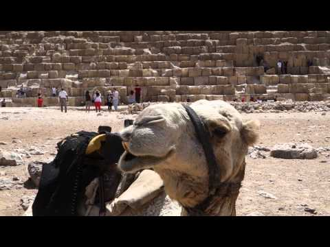 Camel Chew at the Pyramids